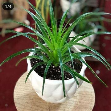 گیاه آگاولیندایی آپارتمانی همیشه سبز همراه با گلدان
