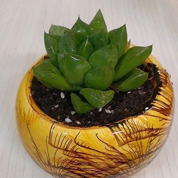 هاورتیا شیشه ای  از خانواده ی کاکتوس ها با گلدان هنری