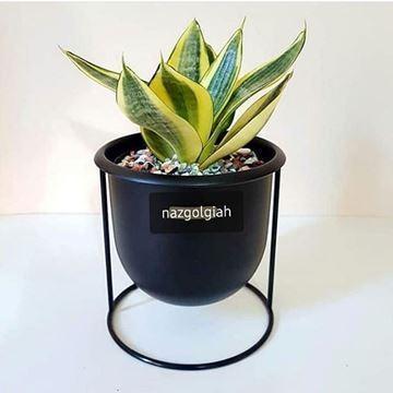 گیاه سانسور یا ابلق آپارتمانی با گلدان فلزی