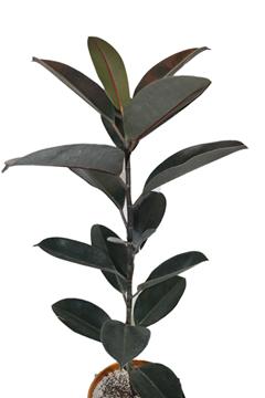 گیاه-فیکوس