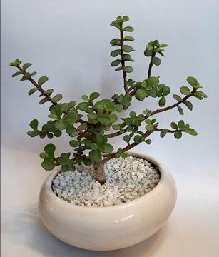 گل و گیاه گلدوناریوم🌵 🌴بنسای کراسولا🌴 انواع گیاهان آپارتمانی و کاکتوس ♦️در سایز های مختلف ♦️عرضه به صورت تک و عمده
