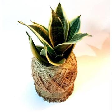 کوکداما از انواع گل های آپارتمانی در پوششی از کنف و خزه