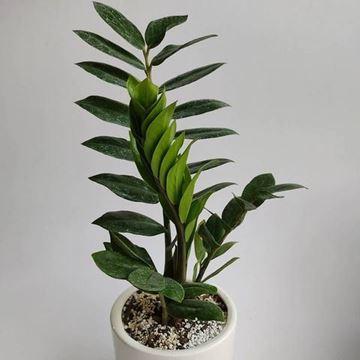 گیاهان فروشگاه اینترنتی کوشانه، زاموفیلیا، گیاهی خاص آپارتمانی سایه دوست، مقاوم، بسیار زیبا و منحصر به فرد و یک پیشنهاد خوب برای علاقمندان به گل و گیاه