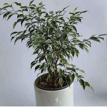 گیاه آپارتمانی همیشه سبز و دوستدار نور فراوان و آبیاری به موقع گیاه درختچه ای بسیار زیبا قدرت بالا جهت جذب انرژی مثبت و تصفیه هوا در فضای منزل یا اتاق کار
