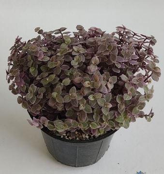 کالیسیا گیاهی مینیاتوری و جذاب با برگهای رنگی رنگی، دوستدار محیط پر نور و شرجی، با خاک سبک و قابل ارائه با گلدانهای رنگی رنگی با انتخاب شما، خریدی متفاوت برای افراد خاص و شیک